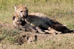 Hyena_1861