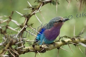 Lilac-Breasted-Roller-2251