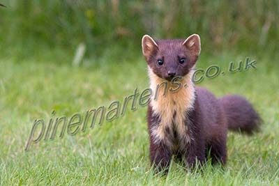 Scotland Pine Martens Wildlife Photography