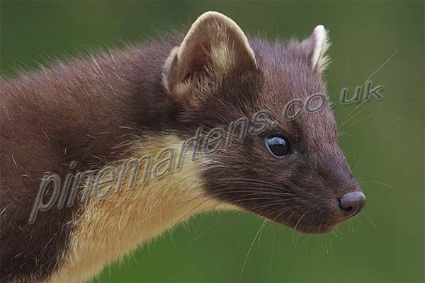 Pinemarten Gallery
