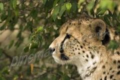 Cheetah-2039